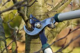 Image taille arbre fruitier